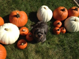 An exciting day for Dora & I - pumpkin arrival day!